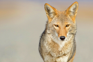Coyote (Canis latrans) male, Death Valley National Park, California