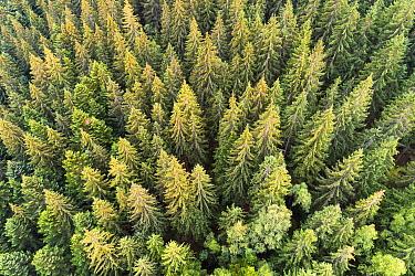 Coniferous forest, Carpathian Mountains, Ukraine