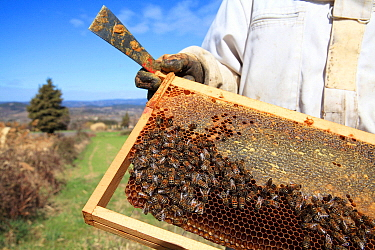 Honey Bee (Apis mellifera) hive inspected by beekeeper, Europe