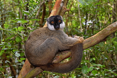Common Brown Lemur (Eulemur fulvus), Pangalanes Canal, Ampitabe Lake, Madagascar