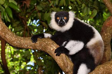 Ruffed Lemur (Varecia variegata), Pangalanes Canal, Ampitabe Lake, Madagascar