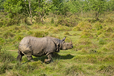 Indian Rhinoceros (Rhinoceros unicornis), Chitwan National Park, Nepal