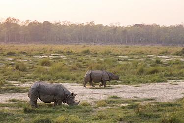 Indian Rhinoceros (Rhinoceros unicornis) pair in grassland, Chitwan National Park, Nepal