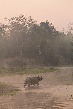 Indian Rhinoceros (Rhinoceros unicornis) along river at sunrise, Chitwan National Park, Nepal