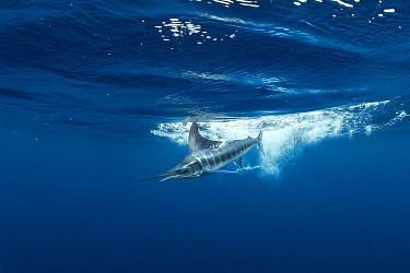 Striped Marlin (Tetrapturus audax), Magdalena Bay, Baja California, Mexico