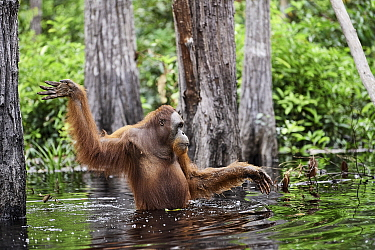 Orangutan (Pongo pygmaeus) female wading, Tanjung Puting National Park, Indonesia