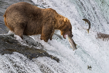 Grizzly Bear (Ursus arctos horribilis) hunting Sockeye Salmon (Oncorhynchus nerka), Brooks Falls, Katmai National Park, Alaska