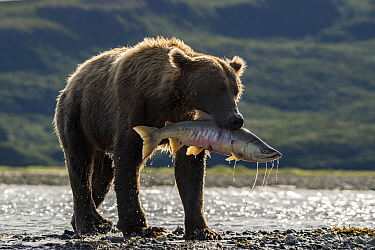 Grizzly Bear (Ursus arctos horribilis) with Sockeye Salmon (Oncorhynchus nerka) prey, Brooks Falls, Katmai National Park, Alaska