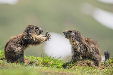 Alpine Marmot (Marmota marmota) sub-adults playing, Hohe Tauern National Park, Austria