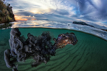 Common Cuttlefish (Sepia officinalis) releasing ink in defensive diplay at dusk, Miseno, Napels, Italy