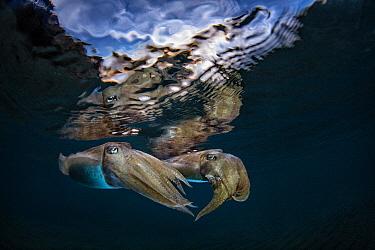 Common Cuttlefish (Sepia officinalis) pair at dusk, Miseno, Napels, Italy