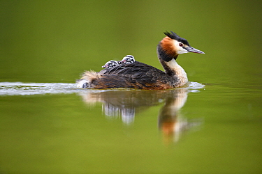 Great Crested Grebe (Podiceps cristatus) parent carrying chicks, France