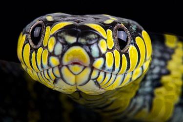 Mangrove Cat Snake (Boiga dendrophila), native to Asia