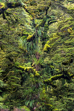 Moss and epiphyte covered tree, Te Urewera National Park, New Zealand