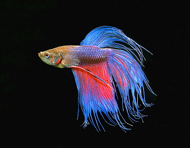 Siamese Fighting Fish (Betta splendens) male, crowntail variety, native to Asia