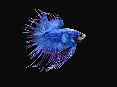 Siamese Fighting Fish (Betta splendens) male, crowntail dragon variety, native to Asia