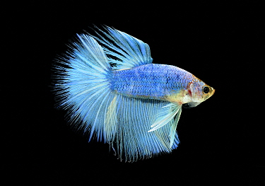 Siamese Fighting Fish (Betta splendens) male, native to Asia