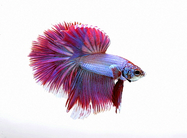 Siamese Fighting Fish (Betta splendens) male, half moon tri band variety, native to Asia