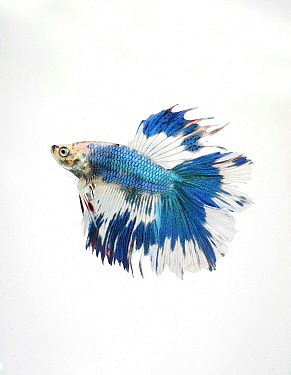 Siamese Fighting Fish (Betta splendens) male, double tail butterfly variety, native to Asia