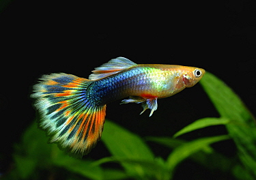Guppy (Poecilia reticulata) male, native to South America