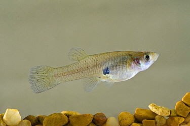 Western Mosquitofish (Gambusia affinis), used as biocontrol agent to reduce mosquito populations, California