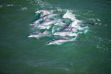 Indo-pacific Bottlenose Dolphin (Tursiops aduncus) pod surfing wave, Western Cape, South Africa