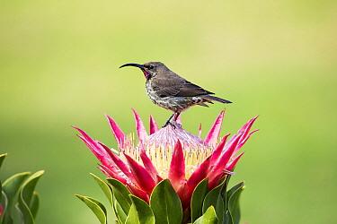 Amethyst Sunbird (Amethyst Sunbird) sub-adult male on King Protea (Protea cynaroides) flower, Western Cape, South Africa
