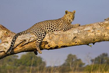 Leopard (Panthera pardus) sixteen month old cub, Jao Reserve, Botswana