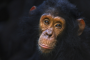Eastern Chimpanzee (Pan troglodytes schweinfurthii) four year old infant male, named Gizmo, Gombe National Park, Tanzania