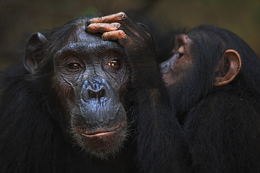 Eastern Chimpanzee (Pan troglodytes schweinfurthii) forty year old female, named Sandi, being groomed by her seven year old juvenile male, named Siri, Gombe National Park, Tanzania