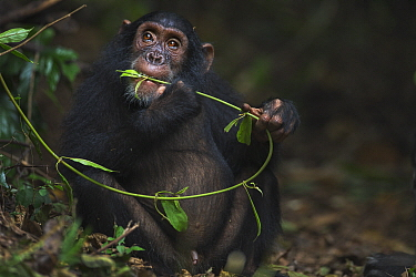 Eastern Chimpanzee (Pan troglodytes schweinfurthii) seven year old juvenile male, named Siri, feeding on vines, Gombe National Park, Tanzania