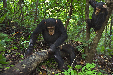 Eastern Chimpanzee (Pan troglodytes schweinfurthii) ten year old juvenile male, named Gimli, foraging for insects in log, Gombe National Park, Tanzania