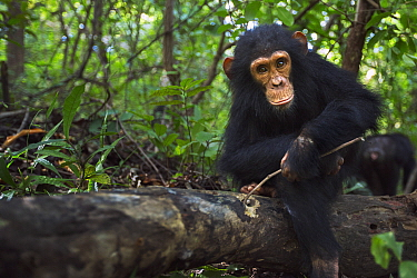 Eastern Chimpanzee (Pan troglodytes schweinfurthii) four year old infant male, named Gizmo, foraging for insects in log, Gombe National Park, Tanzania