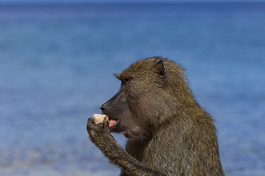 Olive Baboon (Papio anubis) female licking stones for minerals, Gombe National Park, Tanzania