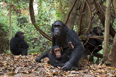 Eastern Chimpanzee (Pan troglodytes schweinfurthii) sixteen year old female, named Glitter, with her two year old daughter, Gossamer, Gombe National Park, Tanzania