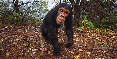 Eastern Chimpanzee (Pan troglodytes schweinfurthii) five year old infant male, named Google, Gombe National Park, Tanzania