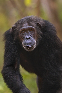 Eastern Chimpanzee (Pan troglodytes schweinfurthii) twenty-five year old female, named Nasa, Gombe National Park, Tanzania