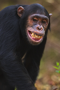 Eastern Chimpanzee (Pan troglodytes schweinfurthii) fourteen year old sub-adult male, named Fundi, making submissive facial gesture, Gombe National Park, Tanzania