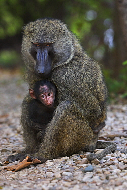 Olive Baboon (Papio anubis) male with three month old young, Gombe National Park, Tanzania