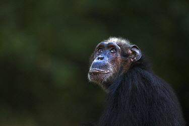 Eastern Chimpanzee (Pan troglodytes schweinfurthii) fifty-six year old female, named Sparrow, Gombe National Park, Tanzania