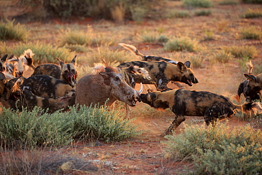 African Wild Dog (Lycaon pictus) group attacking Cape Warthog (Phacochoerus aethiopicus), Tswalu Game Reserve, South Africa