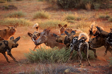 African Wild Dog (Lycaon pictus) group surrounding Cape Warthog (Phacochoerus aethiopicus), Tswalu Game Reserve, South Africa