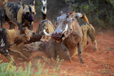African Wild Dog (Lycaon pictus) group attachking Cape Warthog (Phacochoerus aethiopicus), Tswalu Game Reserve, South Africa