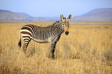 Mountain Zebra (Equus zebra), Mountain Zebra National Park, South Africa