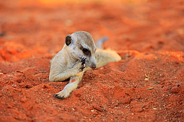 Meerkat (Suricata suricatta) scratching itself, Tswalu Game Reserve, South Africa