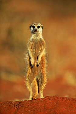 Meerkat (Suricata suricatta) on alert, Tswalu Game Reserve, South Africa