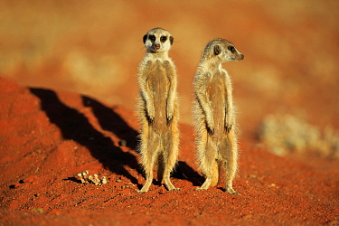 Meerkat (Suricata suricatta) pair on alert, Tswalu Game Reserve, South Africa
