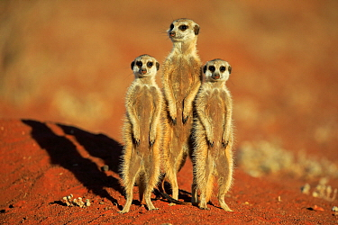 Meerkat (Suricata suricatta) pregnant female and juveniles on alert, Tswalu Game Reserve, South Africa