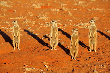 Meerkat (Suricata suricatta) group on alert, Tswalu Game Reserve, South Africa