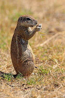 Cape Ground Squirrel (Xerus inauris) feeding, Mountain Zebra National Park, South Africa